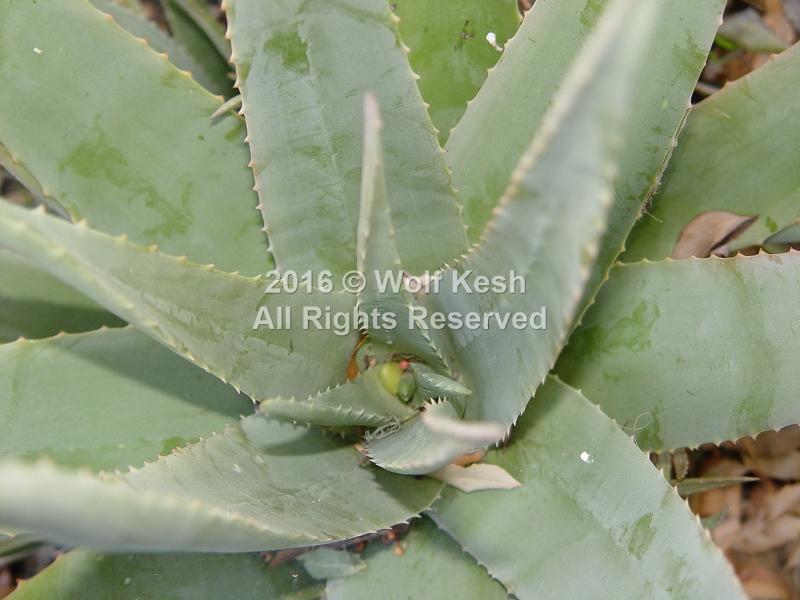 Aloe Cactus Nature Art Photo By Wolf Kesh