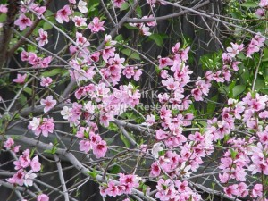 Pink Spring Blossoms Nature Art Photo By Wolf Kesh
